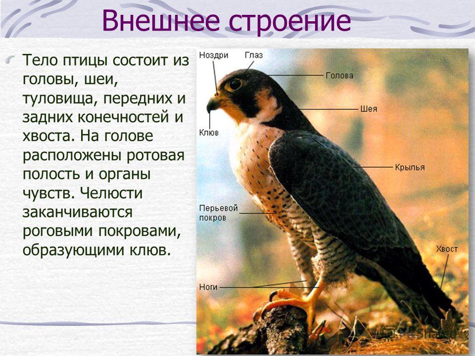Внешнее строение Тело птицы состоит из головы, шеи, туловища, передних и задних конечностей и хвоста. На голове расположены ротовая полость и органы чувств. Челюсти заканчиваются роговыми покровами, образующими клюв.