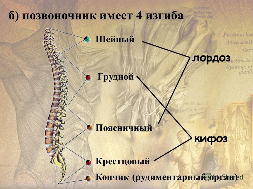 б) позвоночник имеет 4 изгиба лордоз кифоз Шейный Грудной Поясничный Копчик (рудиментарный орган) Крестцовый