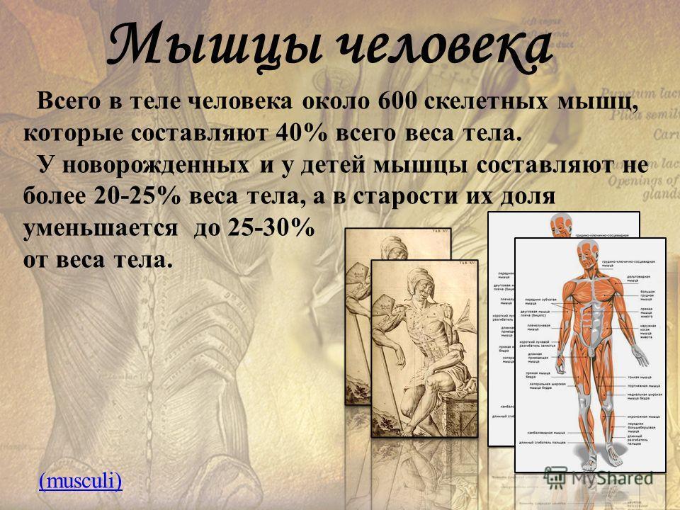 Мышцы человека Всего в теле человека около 600 скелетных мышц, которые составляют 40% всего веса тела. У новорожденных и у детей мышцы составляют не более 20-25% веса тела, а в старости их доля уменьшается до 25-30% от веса тела. (musculi)