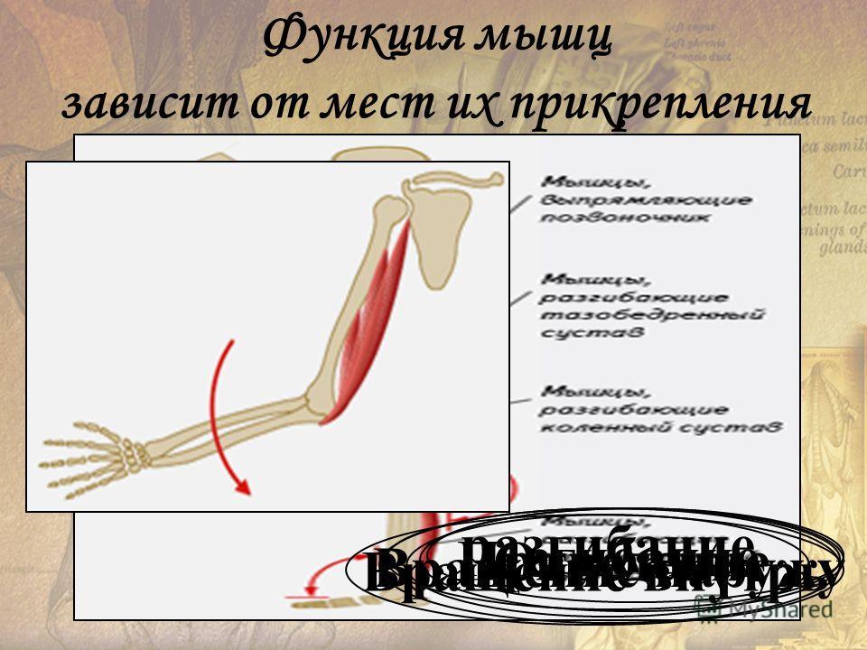 Приведение Вращение наружу Отведение Вращение внутрь сгибание разгибание Функция мышц зависит от мест их прикрепления