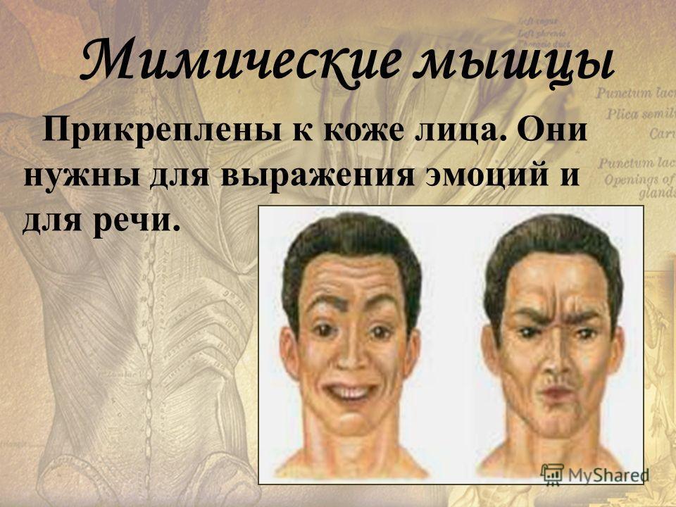 Прикреплены к коже лица. Они нужны для выражения эмоций и для речи. Мимические мышцы