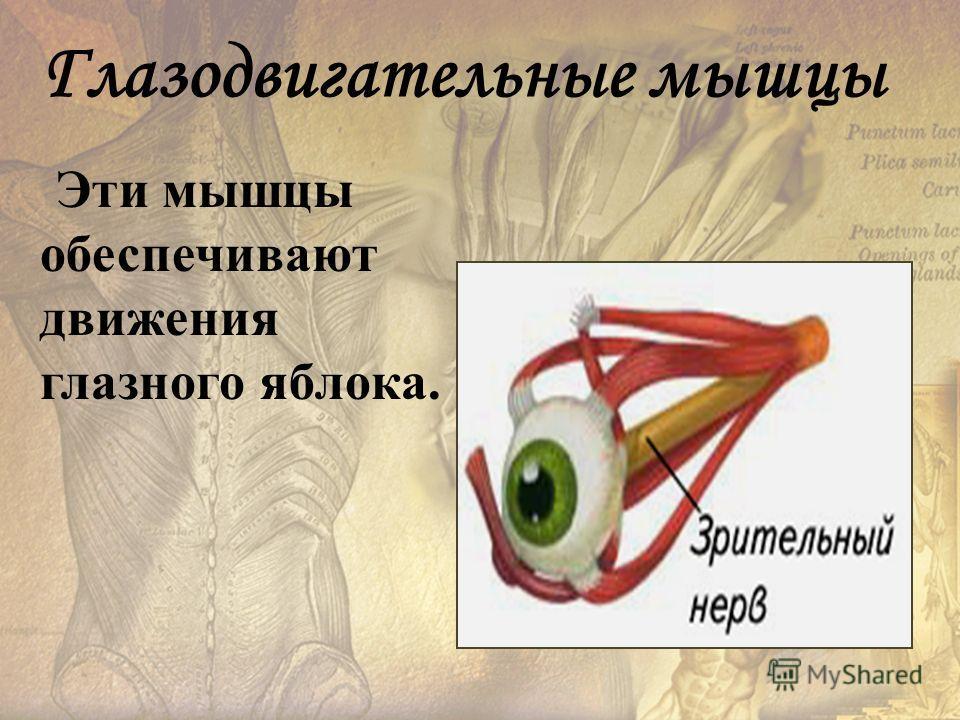 Глазодвигательные мышцы Эти мышцы обеспечивают движения глазного яблока.