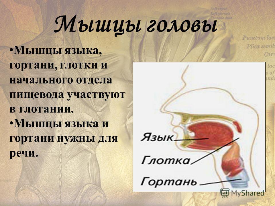 Мышцы языка, гортани, глотки и начального отдела пищевода участвуют в глотании. Мышцы языка и гортани нужны для речи. Мышцы головы