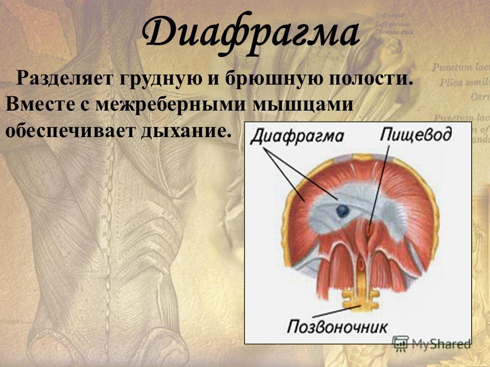 Разделяет грудную и брюшную полости. Вместе с межреберными мышцами обеспечивает дыхание. Диафрагма