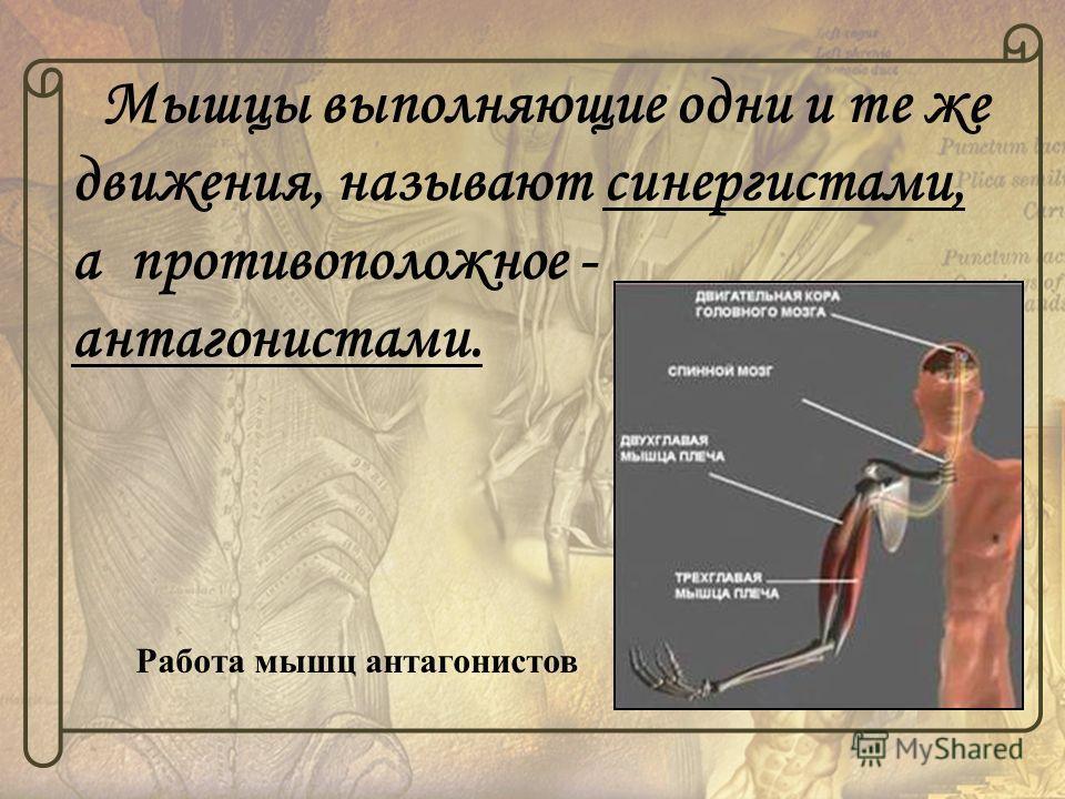 Мышцы выполняющие одни и те же движения, называют синергистами, а противоположное - антагонистами. Работа мышц антагонистов