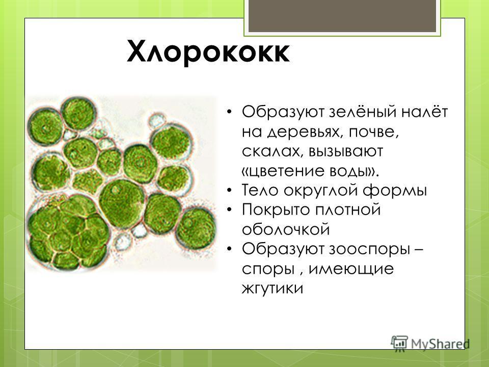 Хлорококк Образуют зелёный налёт на деревьях, почве, скалах, вызывают «цветение воды». Тело округлой формы Покрыто плотной оболочкой Образуют зооспоры – споры, имеющие жгутики
