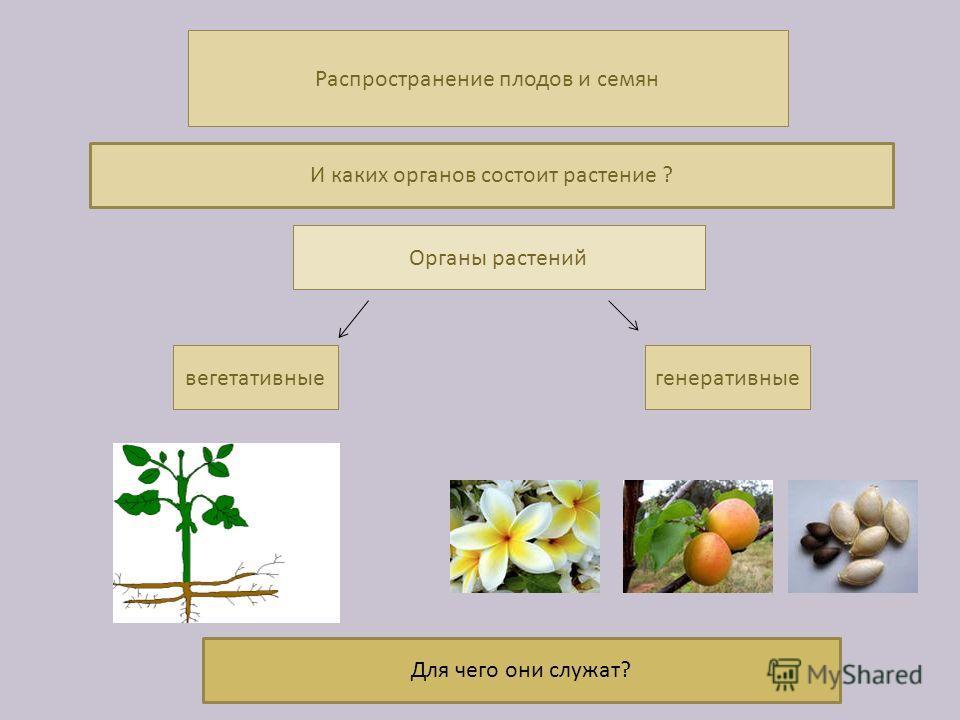 Распространение плодов и семян Органы растений вегетативныегенеративные И каких органов состоит растение ? Для чего они служат?