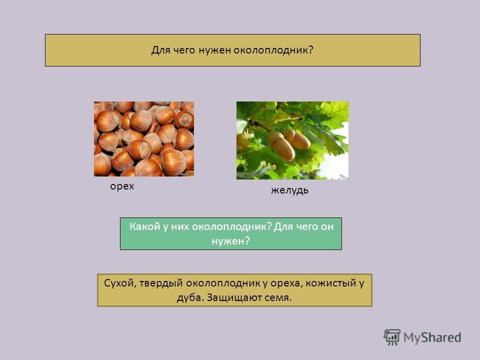 Для чего нужен околоплодник? Сухой, твердый околоплодник у ореха, кожистый у дуба. Защищают семя. орех желудь Какой у них околоплодник? Для чего он нужен?