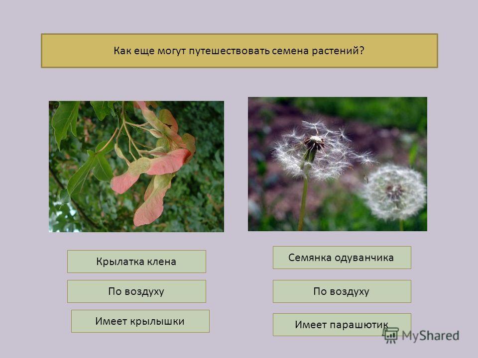 Как еще могут путешествовать семена растений? По воздуху Имеет крылышки По воздуху Имеет парашютик Семянка одуванчика Крылатка клена