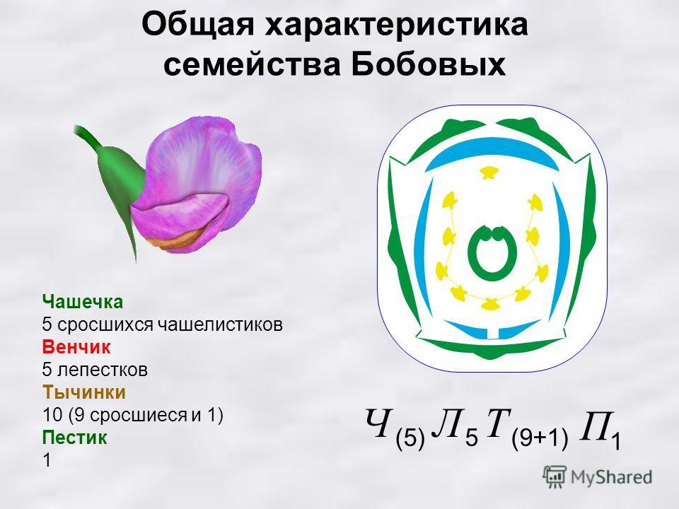 Общая характеристика семейства Бобовых Чашечка 5 сросшихся чашелистиков Венчик 5 лепестков Тычинки 10 (9 сросшиеся и 1) Пестик 1 1 П (9+1) Т 5 Л (5) Ч