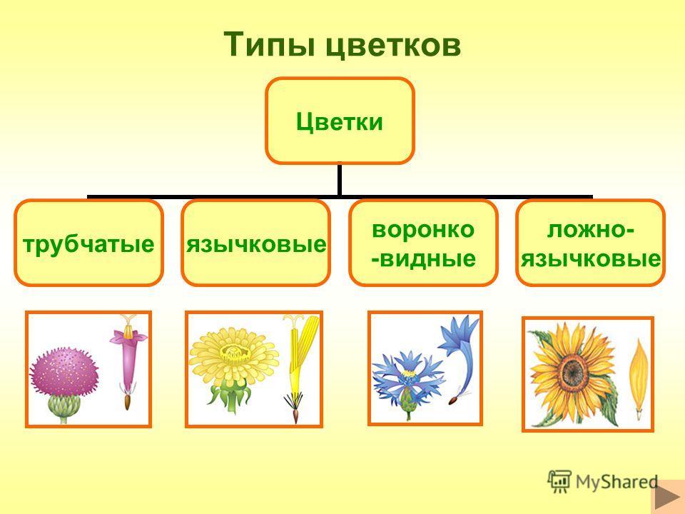 Типы цветков Цветки трубчатыеязычковые воронко -видные ложно- язычковые
