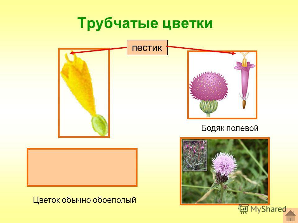 Трубчатые цветки Формула цветка: *Ч0Л(5)Т(5)П1 Бодяк полевой пестик Цветок обычно обоеполый