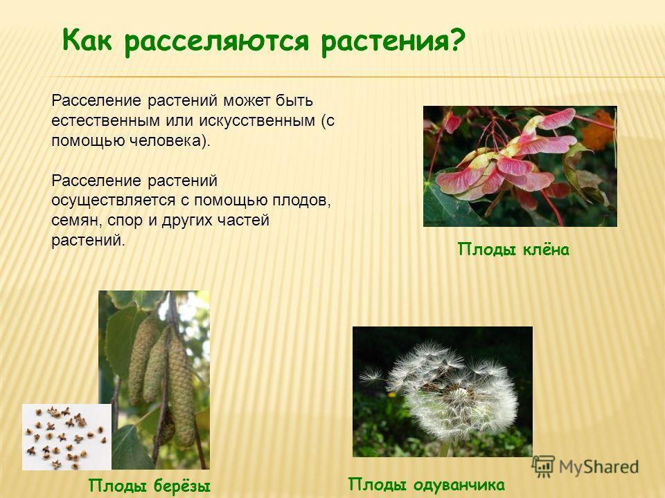 Как расселяются растения? Плоды берёзы Плоды клёна Плоды одуванчика Расселение растений может быть естественным или искусственным (с помощью человека). Расселение растений осуществляется с помощью плодов, семян, спор и других частей растений.