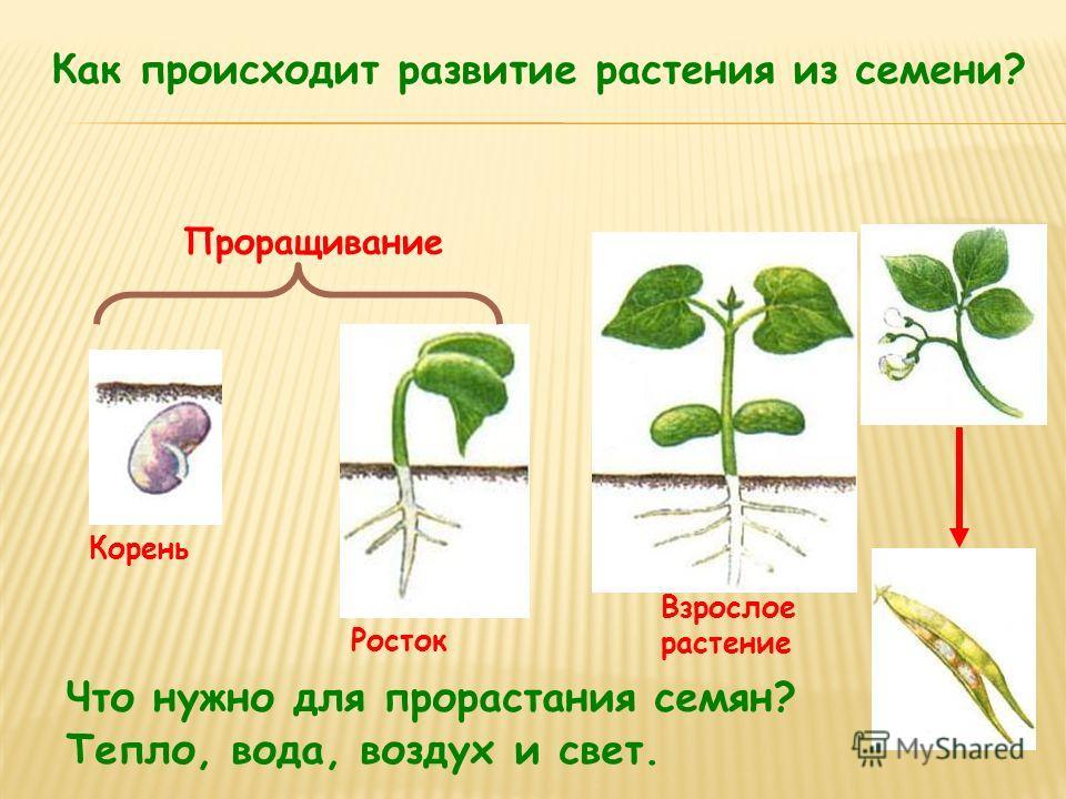 Как происходит развитие растения из семени? Корень Росток Взрослое растение Проращивание Что нужно для прорастания семян? Тепло, вода, воздух и свет.
