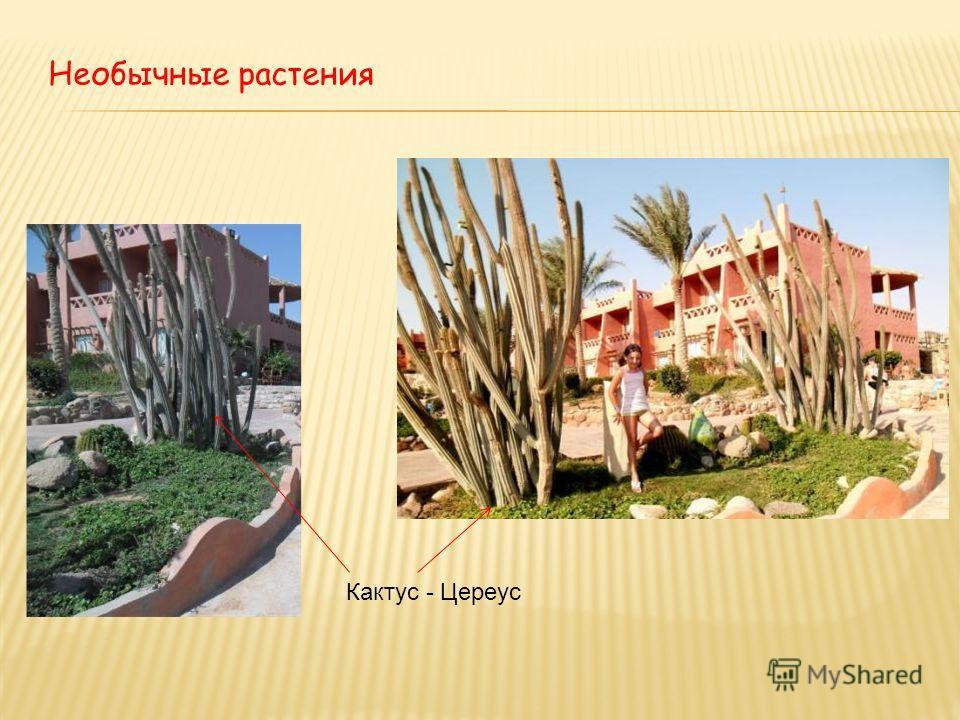 Необычные растения Кактус - Цереус
