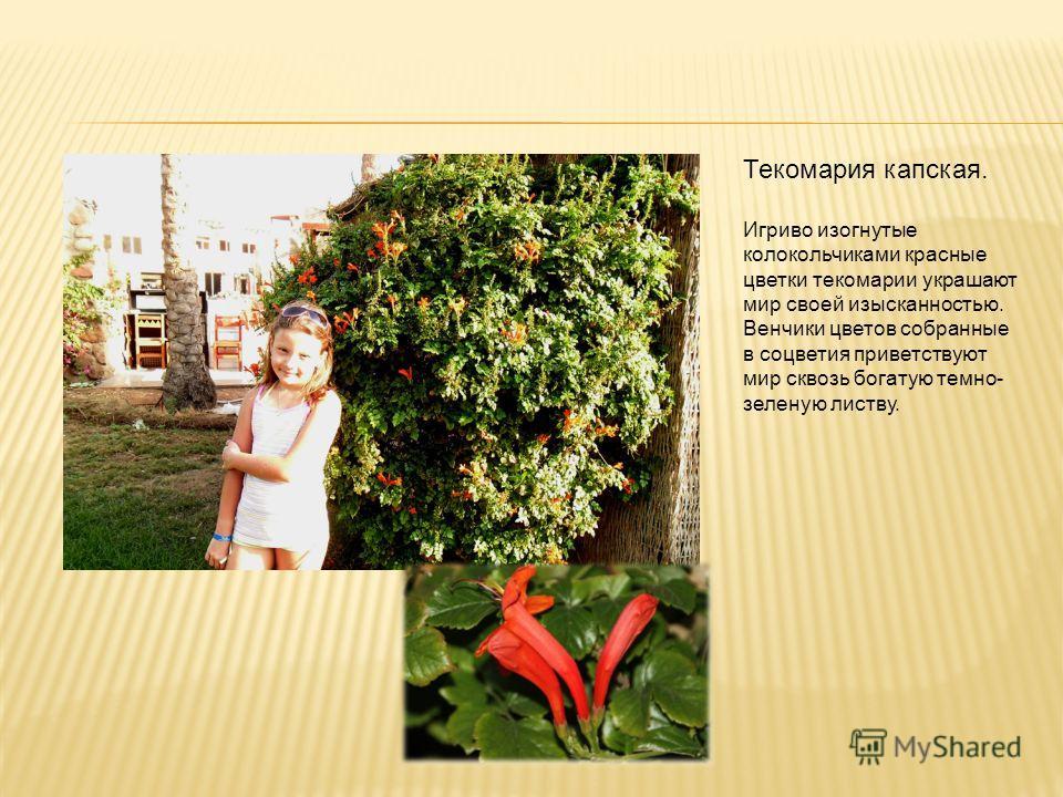 Текомария капская. Игриво изогнутые колокольчиками красные цветки текомарии украшают мир своей изысканностью. Венчики цветов собранные в соцветия приветствуют мир сквозь богатую темно- зеленую листву.