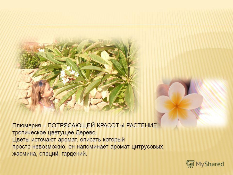 Плюмерия – ПОТРЯСАЮЩЕЙ КРАСОТЫ РАСТЕНИЕ, тропическое цветущее Дерево. Цветы источают аромат, описать который просто невозможно, он напоминает аромат цитрусовых, жасмина, специй, гардений.