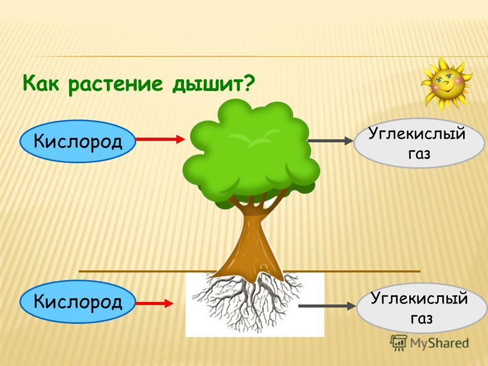 Кислород Углекислый газ Углекислый газ Как растение дышит?