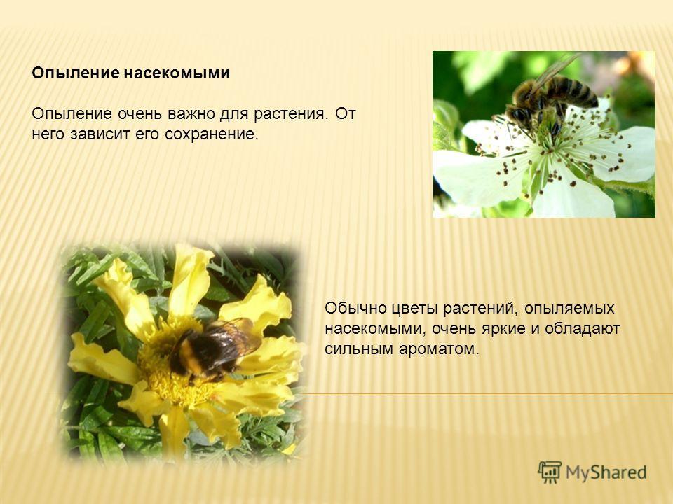 Опыление насекомыми Опыление очень важно для растения. От него зависит его сохранение. Обычно цветы растений, опыляемых насекомыми, очень яркие и обладают сильным ароматом.