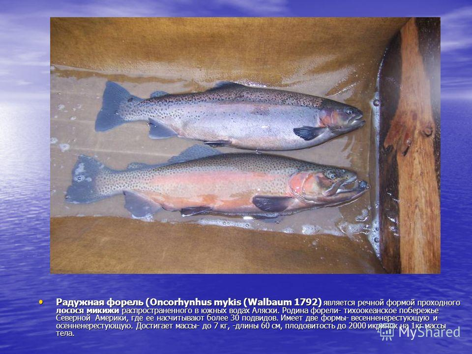 Радужная форель (Оncorhynhus mykis (Walbaum 1792) является речной формой проходного лосося микижи распространенного в южных водах Аляски. Родина форели- тихоокеанское побережье Северной Америки, где ее насчитывают более 30 подвидов. Имеет две формы-