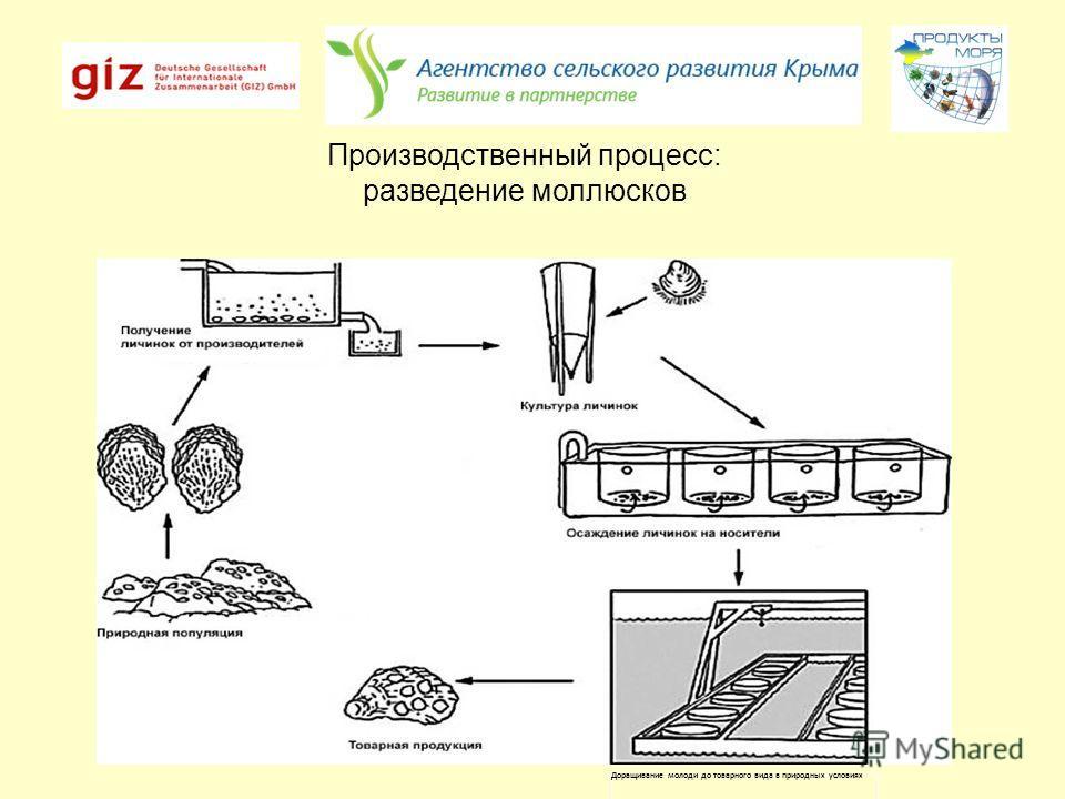 Доращивание молоди до товарного вида в природных условиях Производственный процесс: разведение моллюсков