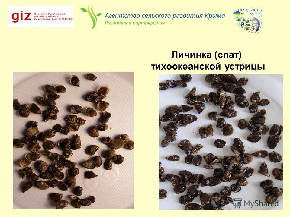 Личинка (спат) тихоокеанской устрицы