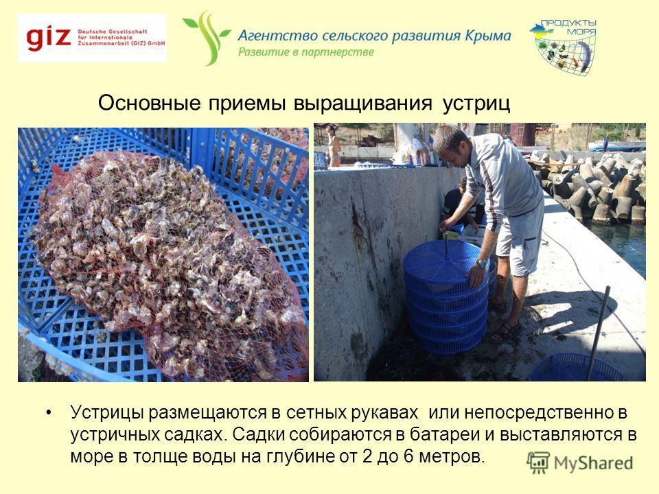 Основные приемы выращивания устриц Устрицы размещаются в сетных рукавах или непосредственно в устричных садках. Садки собираются в батареи и выставляются в море в толще воды на глубине от 2 до 6 метров.