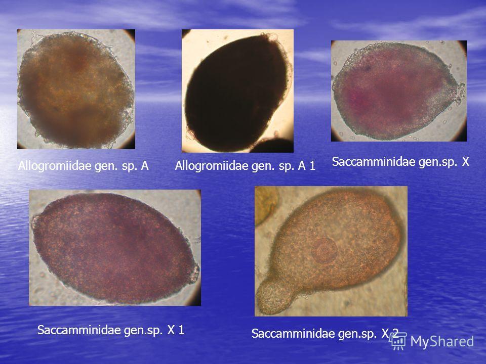 Allogromiidae gen. sp. AAllogromiidae gen. sp. A 1 Saccamminidae gen.sp. X Saccamminidae gen.sp. X 1 Saccamminidae gen.sp. X 2