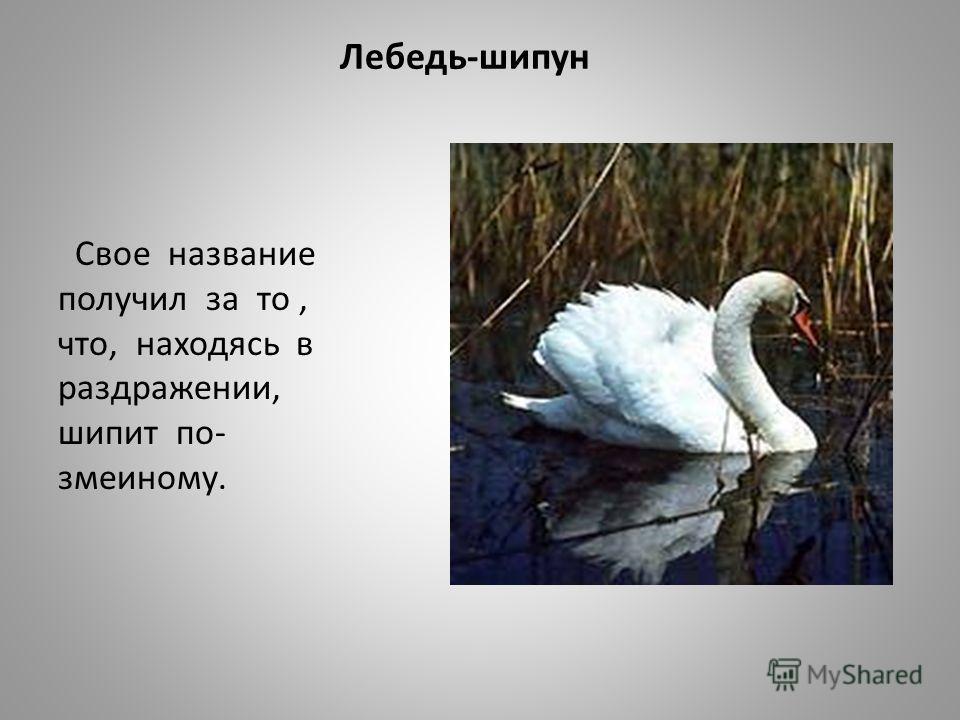 Лебедь-шипун Свое название получил за то, что, находясь в раздражении, шипит по- змеиному.