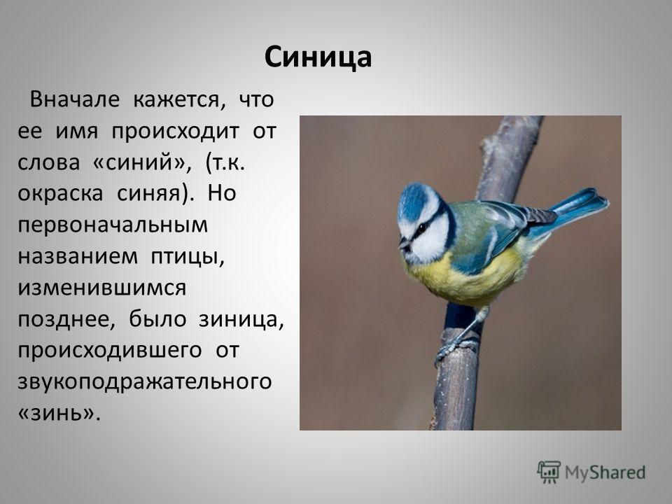 Синица Вначале кажется, что ее имя происходит от слова «синий», (т.к. окраска синяя). Но первоначальным названием птицы, изменившимся позднее, было зи