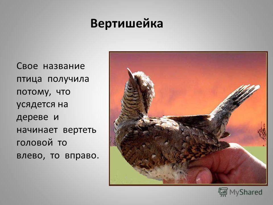 Вертишейка Свое название птица получила потому, что усядется на дереве и начинает вертеть головой то влево, то вправо.