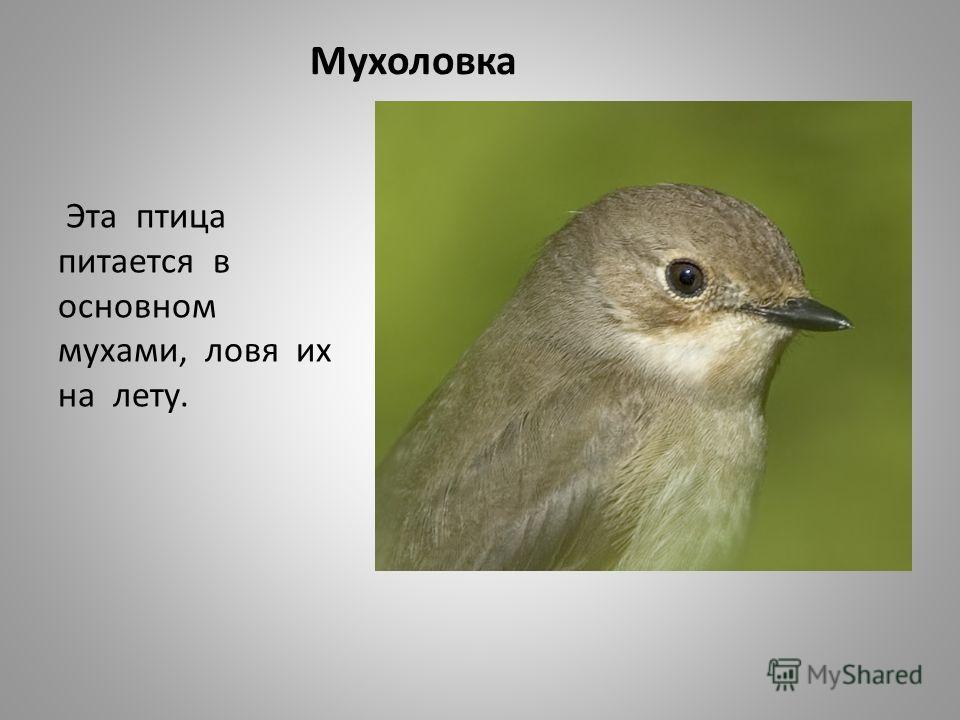 Мухоловка Эта птица питается в основном мухами, ловя их на лету.