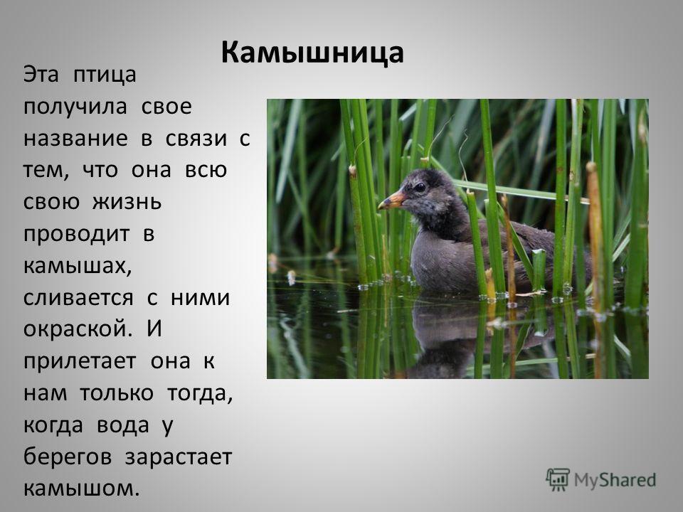 Камышница Эта птица получила свое название в связи с тем, что она всю свою жизнь проводит в камышах, сливается с ними окраской. И прилетает она к нам
