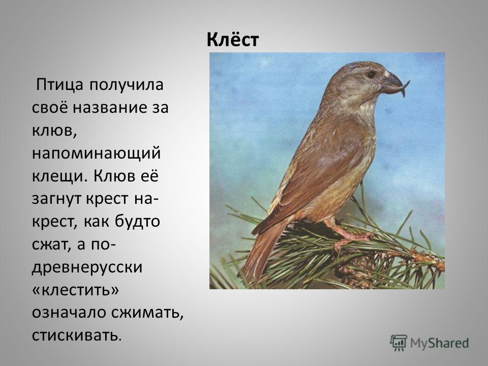 Клёст Птица получила своё название за клюв, напоминающий клещи. Клюв её загнут крест на- крест, как будто сжат, а по- древнерусски «клестить» означало сжимать, стискивать.