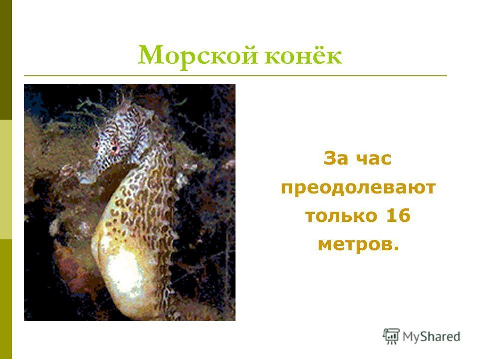Морской конёк За час преодолевают только 16 метров.