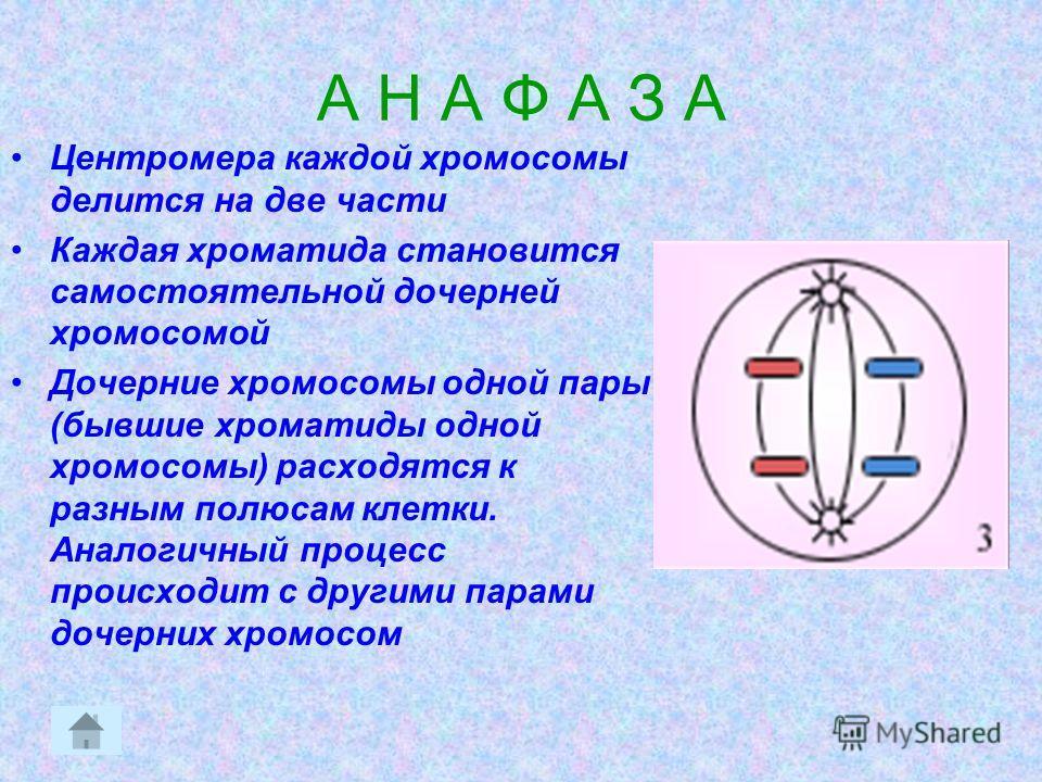 А Н А Ф А З А Центромера каждой хромосомы делится на две части Каждая хроматида становится самостоятельной дочерней хромосомой Дочерние хромосомы одной пары (бывшие хроматиды одной хромосомы) расходятся к разным полюсам клетки. Аналогичный процесс пр