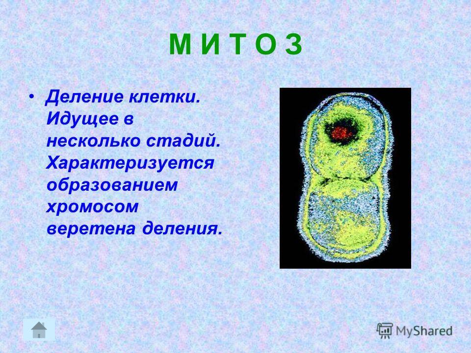 М И Т О З Деление клетки. Идущее в несколько стадий. Характеризуется образованием хромосом веретена деления.