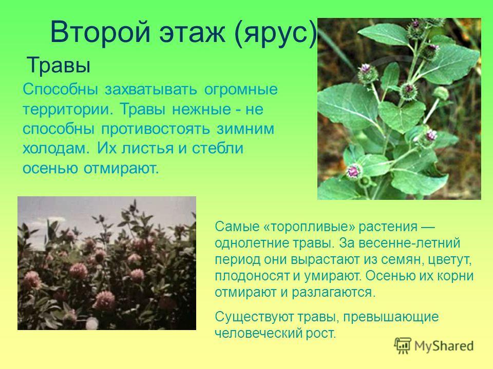 Второй этаж (ярус) Травы Самые «торопливые» растения однолетние травы. За весенне-летний период они вырастают из семян, цветут, плодоносят и умирают. Осенью их корни отмирают и разлагаются. Существуют травы, превышающие человеческий рост. Способны за