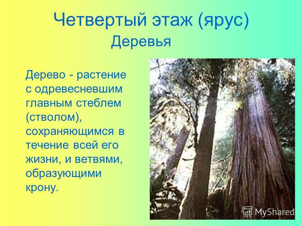 Четвертый этаж (ярус) Дерево - растение с одревесневшим главным стеблем (стволом), сохраняющимся в течение всей его жизни, и ветвями, образующими крону. Деревья
