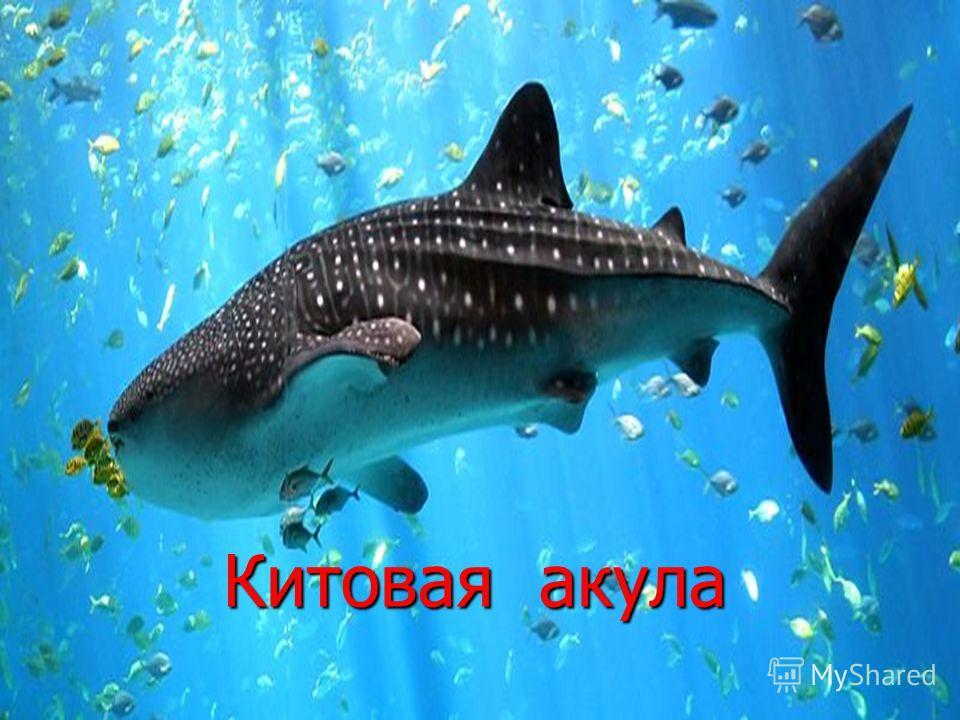Китовая акула Китовая акула