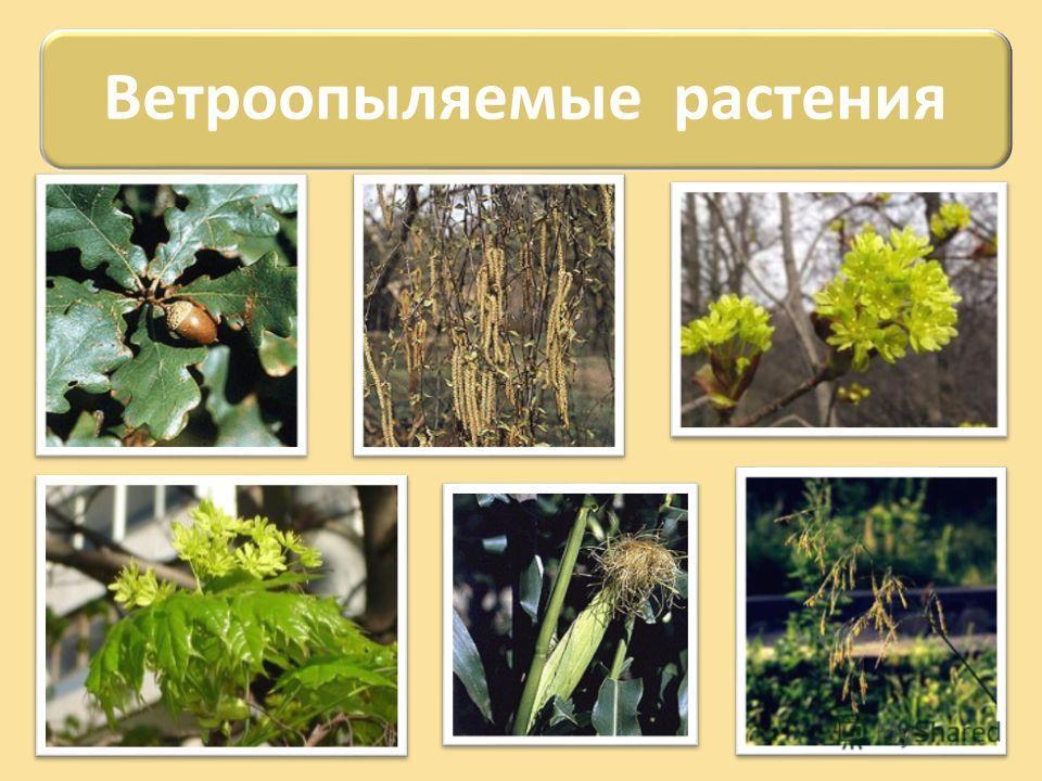 Ветроопыляемые растения