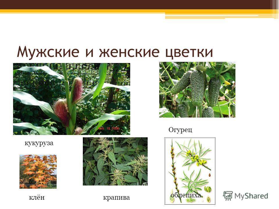 Мужские и женские цветки кукуруза облепиха Огурец клёнкрапива