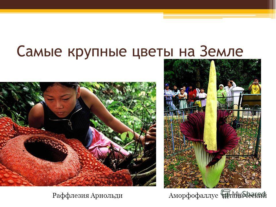 Самые крупные цветы на Земле Раффлезия АрнольдиАморфофаллус титанический