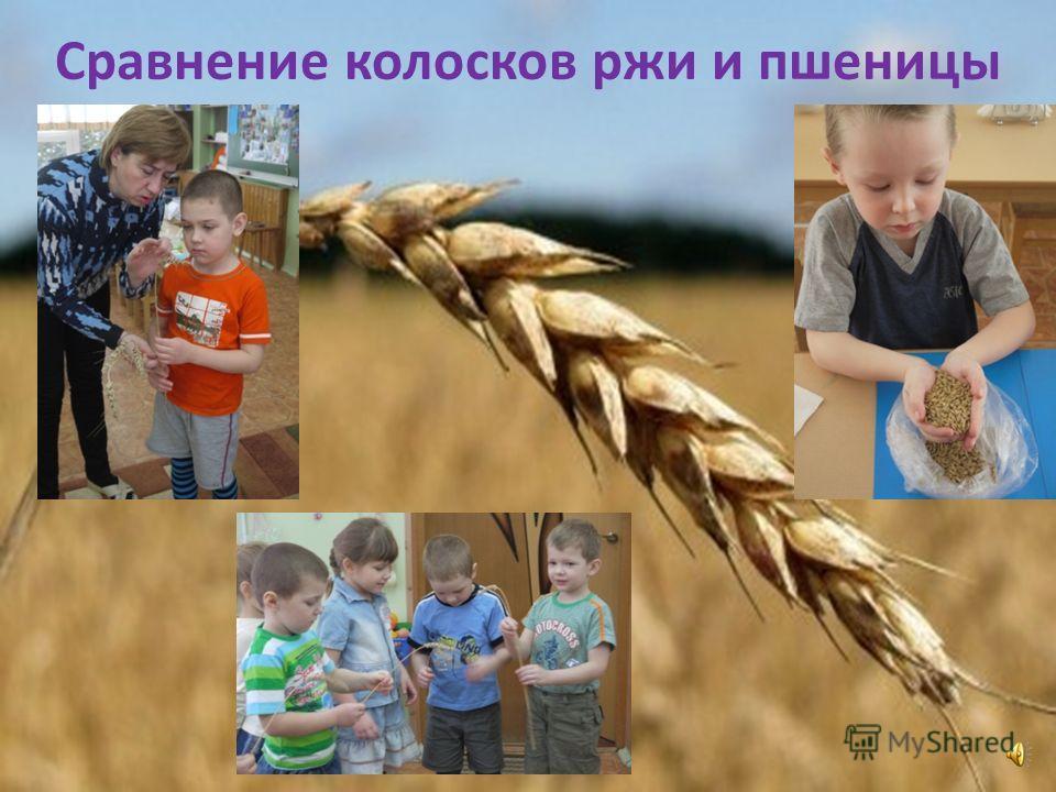 Сравнение колосков ржи и пшеницы
