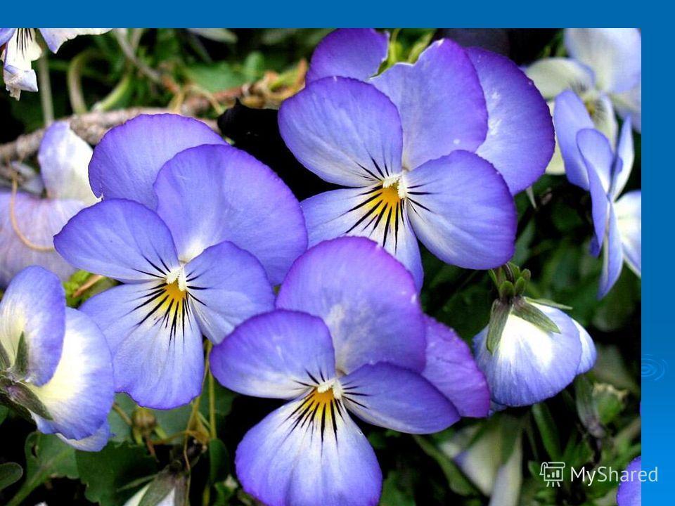 Кто выращивает цветы, тот приносит радость себе и людям!