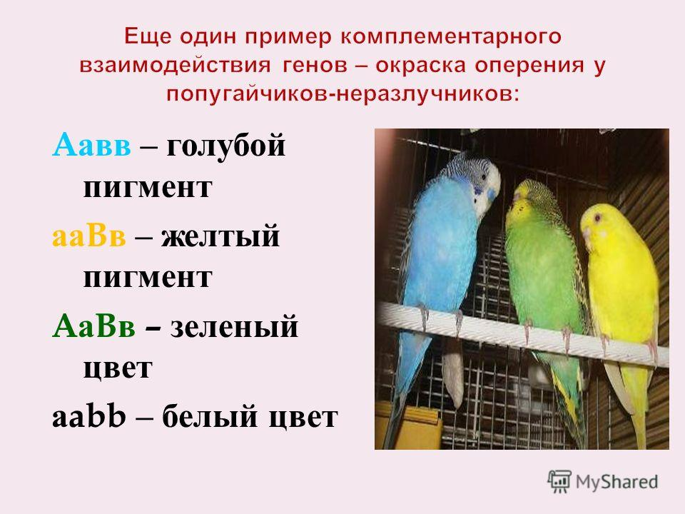 A авв – голубой пигмент аа B в – желтый пигмент A а B в – зеленый цвет а abb – белый цвет