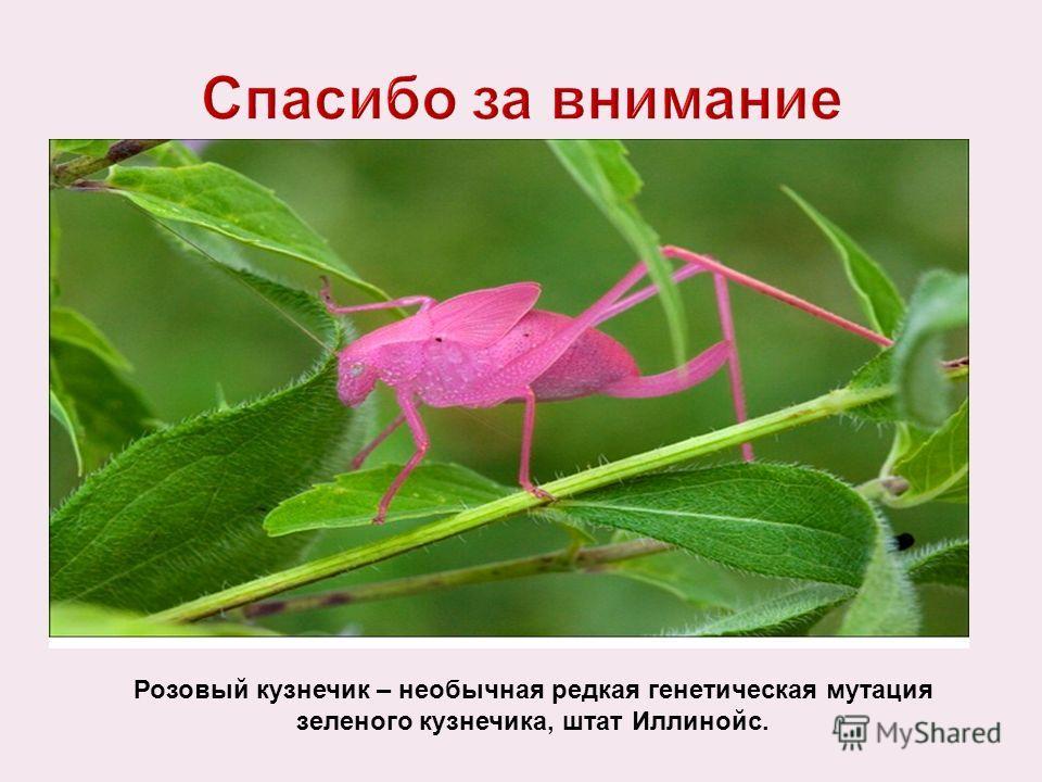 Розовый кузнечик – необычная редкая генетическая мутация зеленого кузнечика, штат Иллинойс.