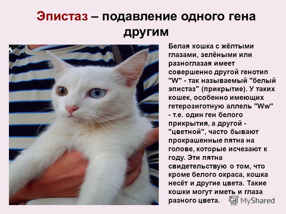 Белая кошка с жёлтыми глазами, зелёными или разноглазая имеет совершенно другой генотип