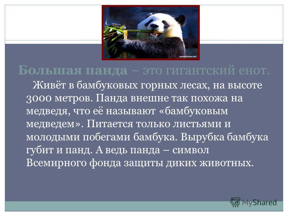 Большая панда – это гигантский енот. Живёт в бамбуковых горных лесах, на высоте 3000 метров. Панда внешне так похожа на медведя, что её называют «бамбуковым медведем». Питается только листьями и молодыми побегами бамбука. Вырубка бамбука губит и панд