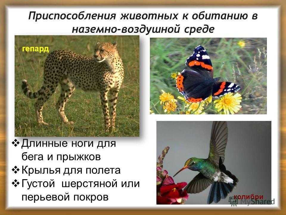 Приспособления животных к обитанию в наземно-воздушной среде колибри Длинные ноги для бега и прыжков Крылья для полета Густой шерстяной или перьевой покров гепард